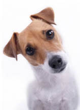 jack russell dog psychology