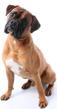 boxer dog psychology training